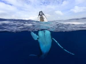 عنوان: نهنگ گوژپشت، تونگا نهنگ های گوژپشت هر ساله از قطب جنوب به این منطقه مهاجرت می کنند. عکاس: Craig Parry