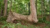 تصاویری از درختان جالب و غیرعادی در آمریکا