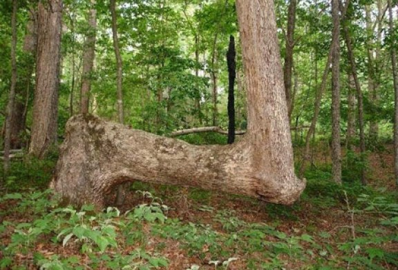 غیر عادی ترین درختان آمریکا