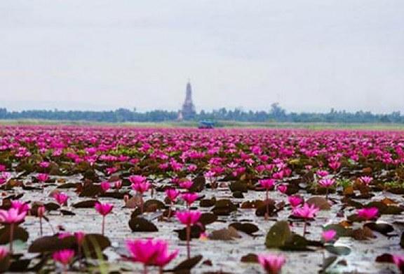 دریاچه ای پُر از نیلوفرهای قرمز در تایلند