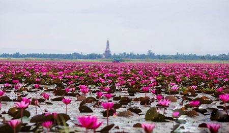 دریاچه نیلوفر قرمز در تایلند