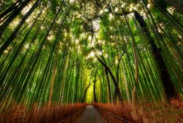 جنگل بامبو در ژاپن با تصاویر بسیار جالب