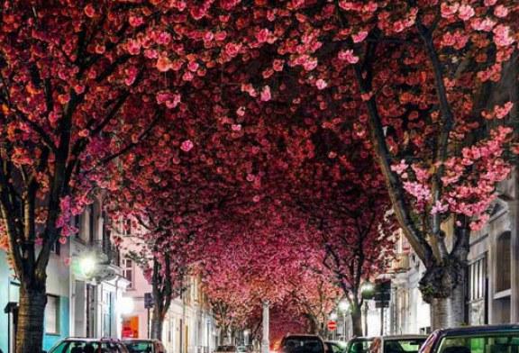 زیباترین شکوفه های گیلاس در کجاها هستند؟