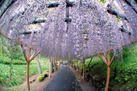 تونلی از گل در ژاپن + تصاویر