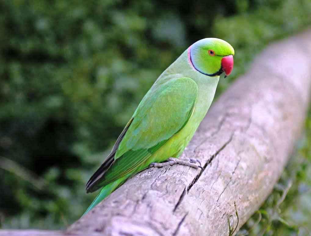 زیستگاه طوطی سبز