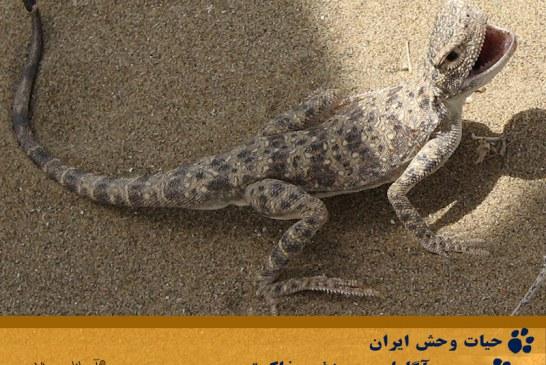 آشنایی با مارمولک بنفش ایران