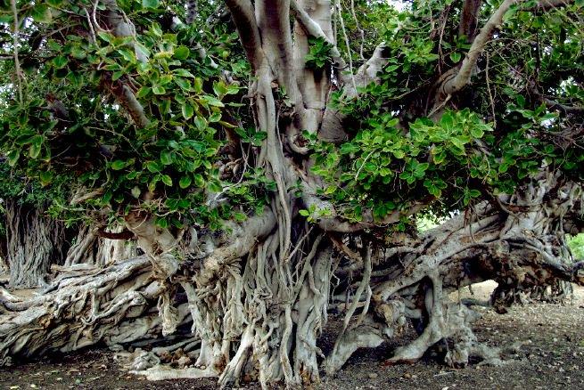 درخت کهنسال مکرزن