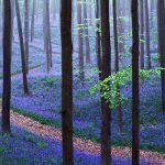 جنگل جادویی هالربوس، بهشت آبی رنگ بلژیک