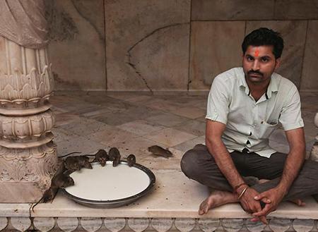 معبد-موش-در-هند