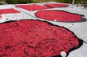 سفر پاییزی به کوچه باغهای دورک اناری | تماشای «ناردنگ» در کنار آبشار دره عشق